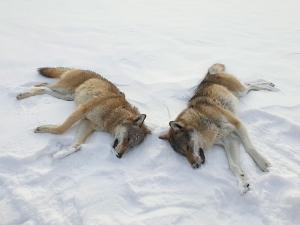 Blir Frp med på ulvedrap?