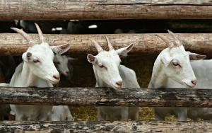 300 geiter omkom i låvebrann i Ål