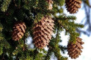 Kongle-rekord kan gi over 500 millioner skogplanter